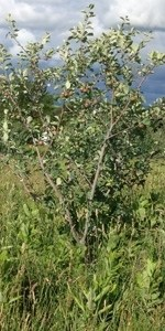 Goodland Apples
