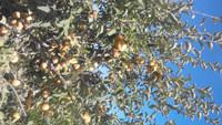 St. Edmonds Apples